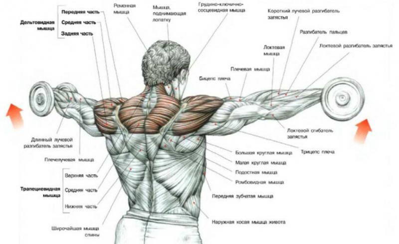 Тренировка дельт. 6 лучших упражнений для круглых плеч