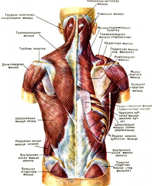 Просто и эффективно тренируем спину. 5 домашних упражнений для укрепления мышц спины и сохранения здоровья позвоночника.